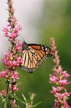 How to Attract Monarch Butterflies