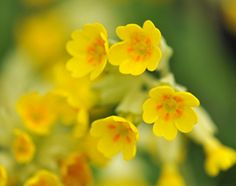 cowslips - an understated wild flower that embellish grassy banks in spring