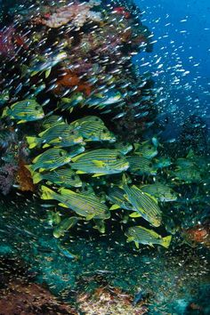 From the Andaman Sea to the Coral Sea, this region offers unspoiled reefs, big animals, thrilling drifts, World War II wrecks and unparalleled macro life.