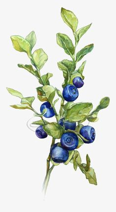 Watercolor Leaves, Creative Blade, Ripe Blueberries, Blueberry PNG Image