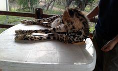 Jules the beautiful young king ambassador. Cute cheetah cub!
