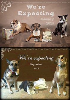 Pet baby announcement, pregnancy announcement photo, new baby, dog, family pet, German shepherd dog, Lab mix, family cat. (Our version)