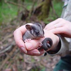 【australia.jp】さんのInstagramをピンしています。 《#オーストラリアの動物 この小さくて #可愛い 哺乳類動物は、ビクトリア州にある動物園 @zoosvictoriaのひとつ、ヒールズビル自然動物園にいるフクロモモンガダマシという、小型の #ポッサム です😍。この #動物 は #メルボルン 周辺の #森 に住んでいる絶滅危惧種で、手のひらサイズでこれ以上大きくなることはありません。ヒールズビル自然動物園は、#メルボルン @visitmelbourneから車で90分ほど。ぜひこの貴重で可愛くて小さな動物に会いに行ってみて下さいね。》