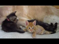 3 Foster Kittens Playing On Big Dog's Bed 5 Weeks Old - English Cream Golden Retriever - YouTube