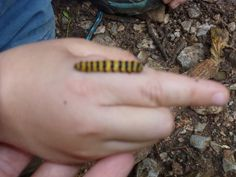 We found a Cinnbar moth caterpillar, by the entrance to Occombe wood.