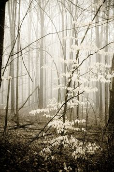Apparition, nature photography, B&W, trees, fog