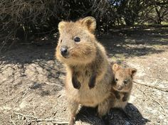 Although one of the lesser well known creatures in the animal kingdom the adorable quokka has every right to be called the world's happiest animal and we've got Happy Animals, Cute Funny Animals, Animals And Pets, Beautiful Creatures, Animals Beautiful, Quokka Animal, Australia Animals, Tier Fotos, Animals Of The World