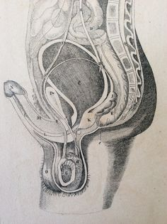 Antique Engraving ANATOMY Erect PENIS Dissection by Thepapermuseum