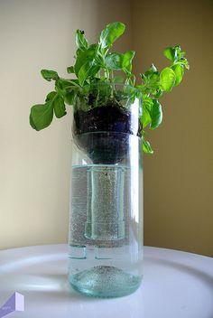 wine bottle hydroponic herbs & plants (basil, pothos)