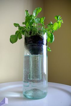 Cleaved wine bottle planter, great idea for growing hydroponic plants indoors