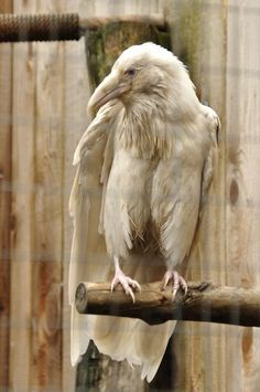 Albino Crow. Look at his little legs...!