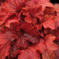 Heuchera 'Fire Alarm' 'Fire Alarm' has the reddest foliage of any coral bell during the spring and fall; foliage color mellows slightly during the summer when pink flowers bloom on reddish stems.  A few hours of morning sun will bring out the best foliage color.