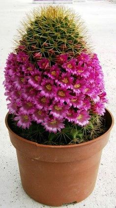 / Pack Rare Cactus Bonsai Rare Meaty Plant Bonsai Plants Bonsai For Home Garden New Fresh Bonsai Radiation Protection Unusual Plants, Exotic Plants, Exotic Flowers, Amazing Flowers, Beautiful Flowers, Pink Flowers, Succulent Gardening, Cacti And Succulents, Planting Succulents