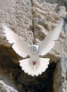 Dove In Jerusalem, Israel