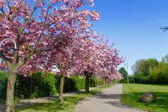 Pernilles altan: Japanske kirsebærtræ