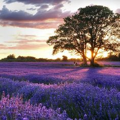 The UK's lavender fields are in full bloom. From farms in Surrey, to Hampshire and Chichester, these are the most beautiful lavender fields to visit this summer. Lavender Seeds, Lavender Flowers, Purple Flowers, Lavender Blossoms, Lavender Oil, Spring Flowers, Mayfield Lavender, Beautiful Flowers, Beautiful Places