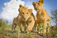 Lion Cubs!  I want one!!