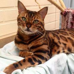 Thor, o gato de Bengal - Foto: Reprodução/ Instagram