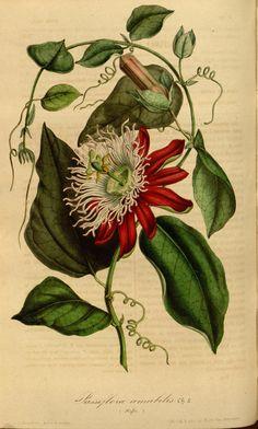 Passiflora amabilis. v.3 (1847) - Flore des serres et des jardins de l'Europe - Biodiversity Heritage Library