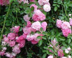 rosa-trepadeira http://www.plantasonya.com.br/wp-content/img/rosa-trepadeira.jpg