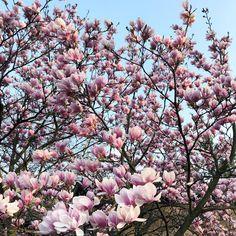 Wiem, że prawie wszyscy mają podobne zdjęcie, ale ja również nie umiem przejść obojętnie obok rozkwitającej wiosny 😍🌸💗 Nie przeszkadza mi…