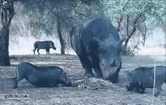 A rhino knocks a warthog i the air after getting close to its hay. Gif Bin is your daily source for funny gifs, reaction gifs and funny animated pictures! Large collection of the best gifs. Animals And Pets, Funny Animals, Cute Animals, Wild Animals, Beste Gif, Shark Bait, Animal Attack, Mejor Gif, Rhinoceros