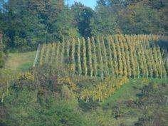 Croatian vineyard. Everybody has vineyards!