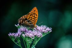 #animal #butterfly #colorful #filigree #flower #garden #insect #nature #park #plant #spring #summer #wildlife #wing