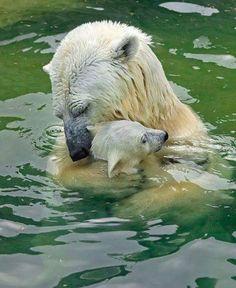 Momma polar bear & cub