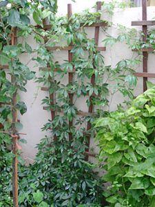 Jiaogulan - die Pflanze wuchert im Garten