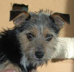 Petango.com – Meet Scampi, a 2 years Terrier / Mix available for adoption in PENDLETON, OR