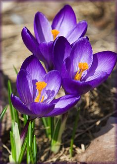 first sign of spring! First Day Of Spring, Spring Is Here, Spring Time, Beautiful Photos Of Nature, Beautiful Flowers, Spring Scene, Blue Plants, Spring Has Sprung, Flower Pictures