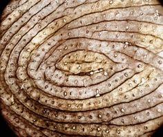 Human fingerprint. The smaller circles within the epidermal ridges are sweat gland ducts.