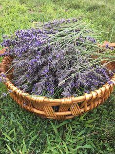 Lovely Lavender for the Nervous System   Robin Rose Bennett