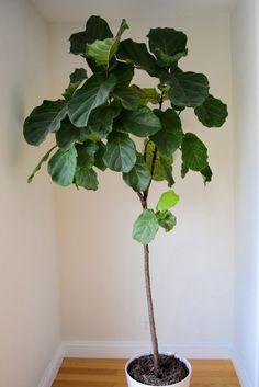 Fiddle Leaf Fig Houseplant  JadeAcre
