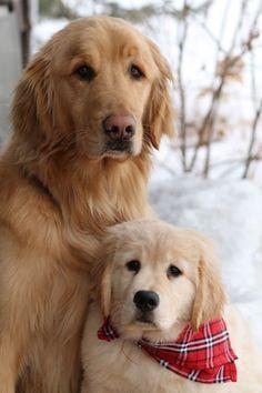 Golden Retrievers- absolutely gorgeous! #goldenretriever