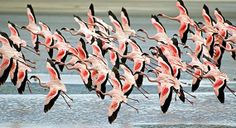 Flamingos in ngorongoro crater,do you know why they are red?contact us info@africantrekksafaris.com