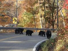 Five bears on Ski Mountain Rd, Smoky Mountains, Gatlinburg. I'm headed there this weekend. Come and see the beauty of the mountains y'all!