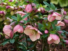 How to Grow and Care for Hellebores - See more at: http://worldoffloweringplants.com/grow-care-hellebores