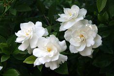 white gardenia flowers