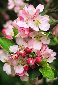 Apple Blossom Spring Flower Fruit Tree May