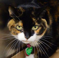 MIMA – A1063960 | NYC AC&C Urgent Cats
