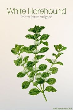 holistic health remedies White Horehound Marrubium vulgare - Information on Health Properties, Dosage, Benefits and Side Effects of the Herb White Horehound (Marrubium vulgare) and Its Uses in Herbal Medicine Holistic Remedies, Natural Health Remedies, Natural Cures, Natural Healing, Herbal Remedies, Herbal Plants, Medicinal Plants, Ivy Plants, Natural Medicine
