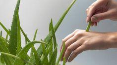 Aby bolo aloe vera liečivé a mohli ste ho využívať Aloe Vera, Herbs, Plants, Planters, Herb, Plant, Spice