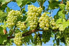 Fruit Trees, Trees To Plant, Pinot Noir, Muscadine Wine, Grape Plant, Crop Production, Old Farmers Almanac, Types Of Wine, Green Grapes