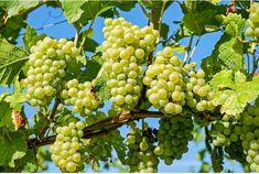 Trucul cu bicarbonat de sodiu pentru creșterea viței de vie Grape Tree, Grape Plant, Grape Vines, Fig Tree, Fruit Plants, Fruit Trees, Trees To Plant, Muscadine Wine, Pinot Noir