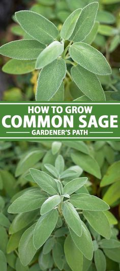 Often found in the company of parsley, rosemary, and thyme, versatile common sage is a savory herb you'll want to grow. Learn how, here on Gardener's Path. Diy Herb Garden, Herb Garden Design, Olive Garden, Sage Garden, Garden Guide, Growing Herbs, Growing Vegetables, Sage Herb, Palmiers