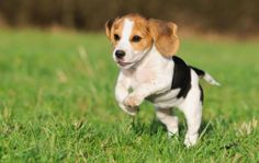 """The Beagle came into prominence in the 1300s and 1400s during the days of King Henry VII of England. Elizabeth I was fond of Pocket Beagles, which were only 9"""" high. http://thepoophappens.com"""