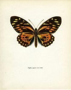 Vintage Butterfly Print, South American Swallowtail (33) Prochazka, 1964, Lepidoptera, Frameable Art