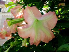 Κηπουρική for dummies: φτιάξε brugmansia | Κηπολόγιο Flowers, Plants, Olympia, Gardening, Lawn And Garden, Plant, Royal Icing Flowers, Flower, Florals